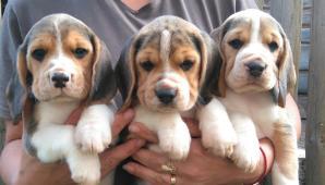 Bigel, beagle šteniatka s PP