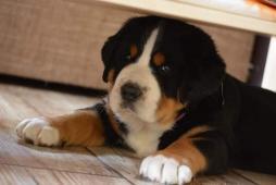 Velký Švýcarský Salašnický pes-štěně s PP