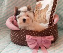 Mini holčička Biewer jorkšírský terier s PP