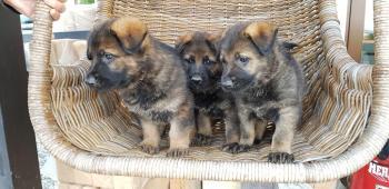 prodám štěnata německých ovčéku