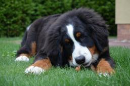 Prodej štěněte Bernský salašnický pes