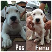 Argentinská doga - štěňata