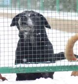 Černý Korzár - Labrador x Ovčák - pes 8 let