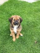 RAFAEL - kříženec - štěně, pes 8 týdnů