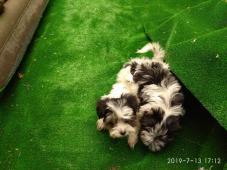 Biewer Yorkshire Terrier fenečky
