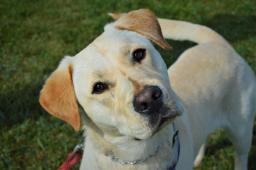 MUF - Labradorský retrívr x - štěně pes