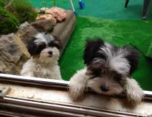 Biewer Yorkshire Terrier luxusní fenečky