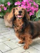 BEN - Jezevčík - pes okolo 10 let.