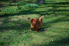 TEDY - Jezevčík x kříženec 8 kg - pes 7 let