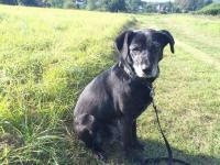 LAURA - Labrador x kříženec - kastrovaná 12 let.