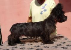Skye Terrier - pejsek