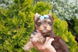 choco jorkšírský terrier