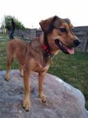 Trixie - Jezevčík X Staford - fena 9 měsíců