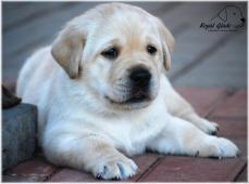Labrador retriever - krásná štěňátka s PP