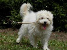BENÍK - Maltézáček x kříženec - pes 6 let