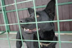 BUBÁK - Německý ovčák x - pes 4 roky