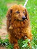 BEN - jezevčík dlouhosrstý - pes