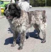 RALF - Kavkazský pastevecký pes