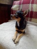 Čivava krátkosrstá pes