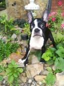 Bostonsky terrier