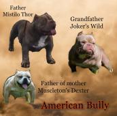 American Bully Pocket - predaj šteniatok