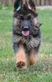 Německý ovčák štěně s PP