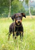 MAX a DAG - Dobrman x kříženec - štěně 6 měsíců