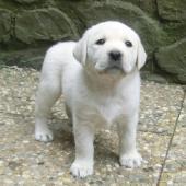 Labrador štěňátka s PP k odběru