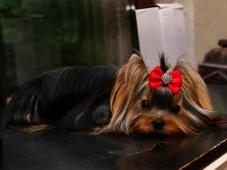 Pes yorkšírský teriér s PP