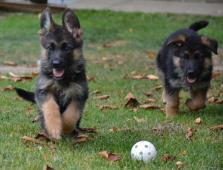 Německý ovčák - štěně s PP