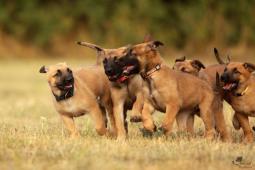 Prodám štěně belgického ovčáka