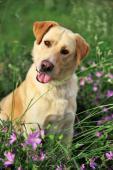 DAX - Labradorský retrívr x kříženec - pes 2 roky.