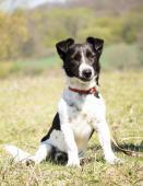 HOMER - Jack Russel teriér x kříženec - pes 2 roky