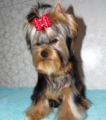 Jorkšírský terrier s PP