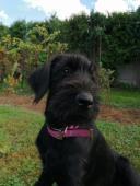 Bradáč veľký čierny - šteniatka