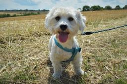 JUPÍK - Maltézský psík - pes 1,5 roku