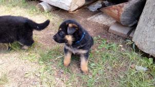 Ponúkam na predaj dve šteniatka NO.