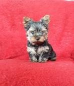 Yorkširský terier, prodám pejska s PP