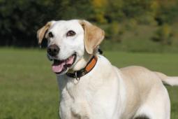 BAD - Labradorský retrívr x - pes 10 let