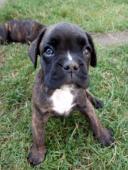 Prodám štěně /fenku Německého boxera