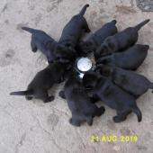 Labradorský retriever - černá štěňata s PP, jediné