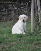 Labradorský retriever - smetanová štěňátka s PP