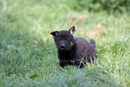 Německý ovčák - štěňata bez PP