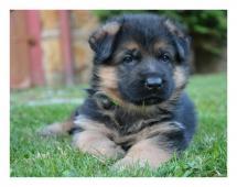 Německý ovčák - štěně pejsek