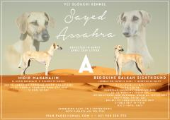 Nádherné šteniatka SLOUGHI (arabský chrt) s PP