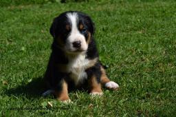 Velký švýcarský salašnickký pes s PP
