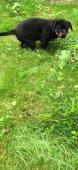 Prodám tříměsíční štěně s PP