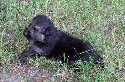 Černý německý ovčák - prodám štěňata