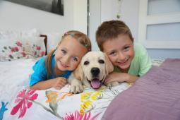 Labrador - světlá+žlutá štěňata s PP