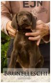 Německý ohař krátkosrstý - štěně